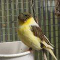 Burung Kenari Gloster