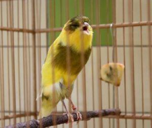 3 Cara Merawat Burung Kenari