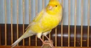 Burung kenari, ternak kenari, tips agar bulu kenari bagus, mengatasi bulu kenari rusak, bulu kenari keriting, bulu kenari mengembang, merawat bulu kenari kuning