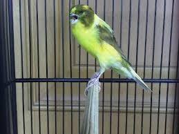 Burung kenari, kandang ternak kenari, cara ternak burung kenari, ternak kenari, vitalur untuk kenari betina, vitamin kenari ternak