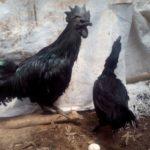 Pengiriman Ayam Cemani Pesanan Ibu Fauziah di Bekasi Sebagai Kado Ulang Tahun Buah Hati Tercinta