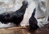 Ayam Cemani Indukan Sepasang