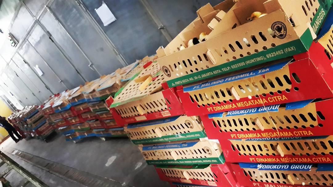 Harga DOC Ayam Kampung Super di Tahun 2017