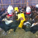 6 Manfaat Vitamin Terhadap Pertumbuhan Ayam Kampung Super