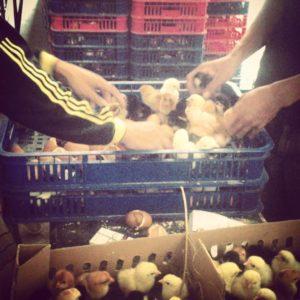 pemeliharaan ayam kampung