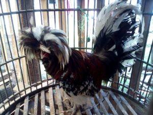 Ayam Polan Dewasa