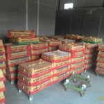 Pemeliharaan DOC Ayam Kampung Super dengan Sistem Cages atau Kandang Box
