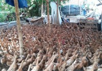 Bebek Lokal Mojosari