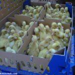 Tips Beternak Bebek Peking untuk Pemula