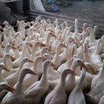 Ternak Bebek : Beberapa Jenis Bebek yang Potensial Dijadikan Ternak Bebek Pedaging