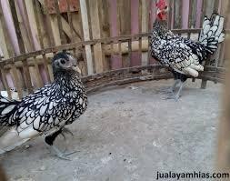 Ayam Batik Itali usia 5 bulan1
