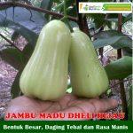 Bibit Jambu Air Madu Deli Hijau 70 cm