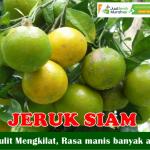 Bibit Jeruk Siam Manis 70 cm
