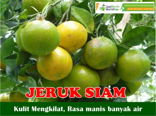 Jeruk Siam Manis