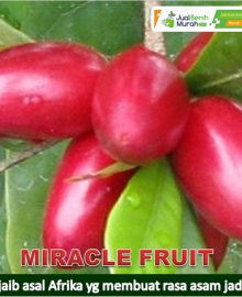 Bibit Buah Miracel Fruit