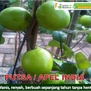 Bibit Buah Putsa, Apel India