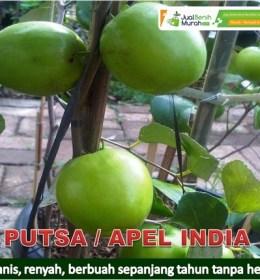 Bibit Buah Putsa, Apel India