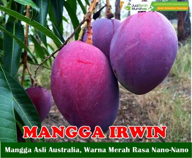 Buah Mangga Irwin