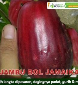 Jambu Bol Jamaika