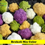 Benih Brokoli Mix Color (Maica Leaf)