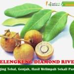 Bibit Kelengkeng Diamond River 70 cm