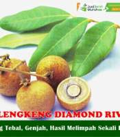 Buah Lengkeng Diamond River