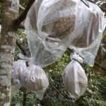 Bibit Durian Monthong Dongkelan