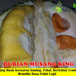 Bibit Durian Musang King Dongkelan