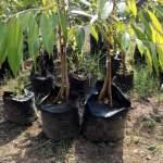 Bibit Durian Musang King Kaki Empat 70 cm