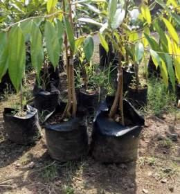 Bibit Durian Musang King kaki 4 70cm
