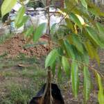 Bibit Durian Musang King Kaki Empat 100cm
