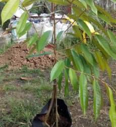 Bibit Durian Musang King kaki Empat 100 cm