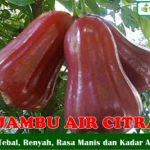 Bibit Jambu Air Citra 70 cm