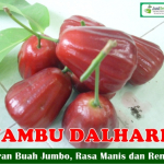 Bibit Jambu Air Dalhari 70cm