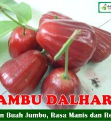 Buah Jambu Dalhari