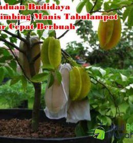 Budidaya Belimbing Tabulampot