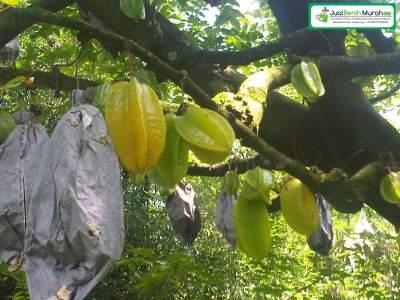 Pohon Belimbing Madu Berbuah