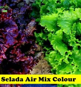 Selada Air Mix Colour