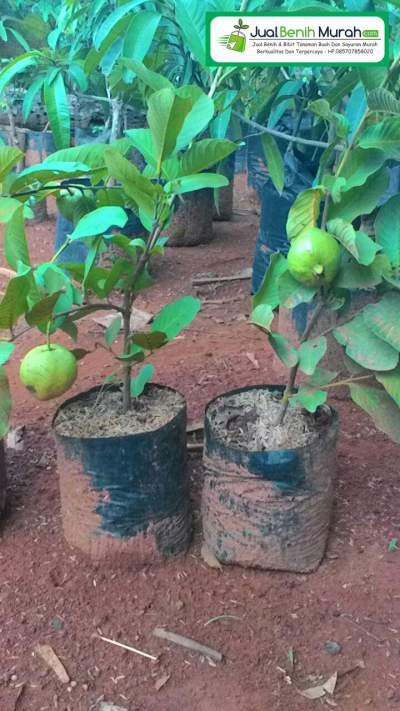 pohon Jambu biji Kristal Berbuah