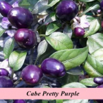 Benih Cabe Pretty Purple (Maica Leaf)