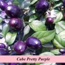 benih-cabe-pretty-purple