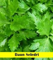 Daun Seledri Maica Leaf