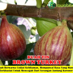 Bibit Buah Tin Brown Turkey 50cm