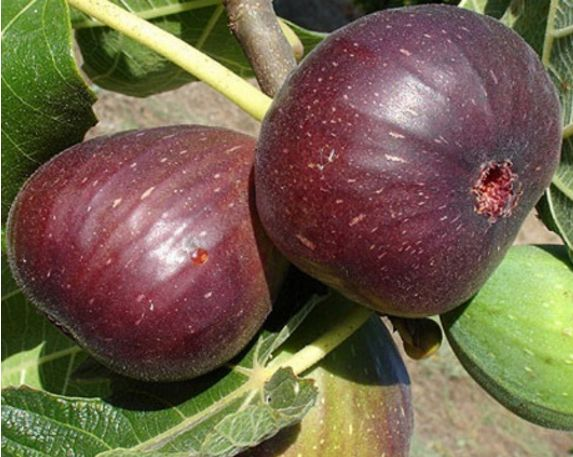buah-tin-purple-jordan-50-cm