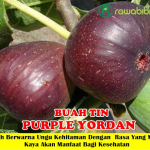Bibit Buah Tin Purple Jordan 50cm