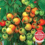 Benih Tomat Tymoti F1 – 25 Gram (Cap Panah Merah)