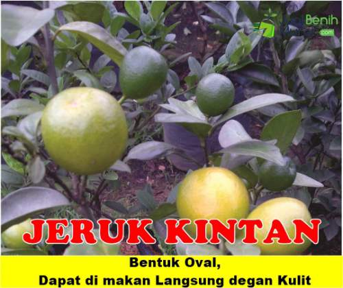 Bibit jeruk kintan Unggul