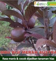 Jambu Biji Merah Australia Unggul