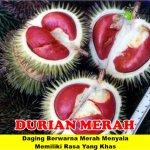 Bibit Durian Merah 3 kaki 70cm