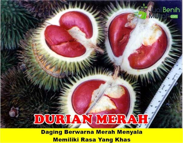 Durian Merah Unggul